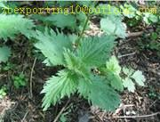 Buy cheap Nettle root Extract from wholesalers