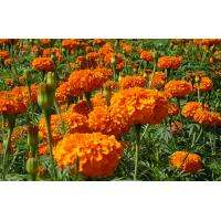 Wholesale Marigold Extract from china suppliers