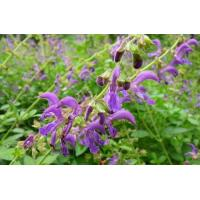 China Salvia Miltiorrhiza Extract on sale