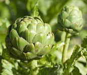 Wholesale High quality natural artichoke extract from china suppliers