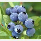 China Blueberry extract on sale
