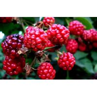 Wholesale Red raspberry anthocyanin from china suppliers