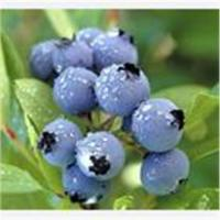 China Blueberry extract(Anthocyanin) on sale