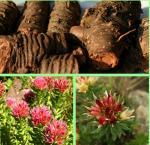 Wholesale rhodiola rosavin salidroside,rhodiola rosavin and salidroside,rhodiola rosea rosavin and s from china suppliers