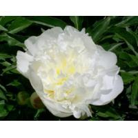 Wholesale White Peony Root P.E from china suppliers
