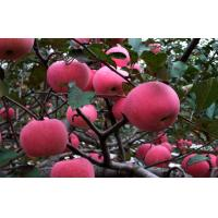 China Sweet No Wounds Fresh Fuji Apple Contains Sugars , Zinc For Supermarket, Superior quality, More resistant to storage on sale