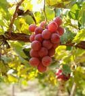 Wholesale grape seed oil from china suppliers