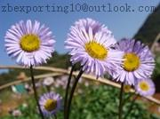 Wholesale Erigeron Breviscapus Extract from china suppliers