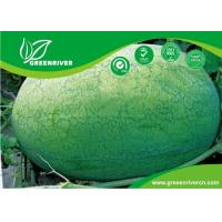 Wholesale Light green rind Organic Watermelon Seeds with netted stripes from china suppliers