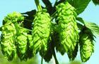 Wholesale Hops extract from china suppliers