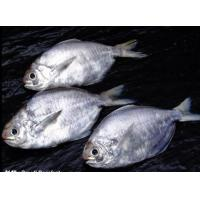 Wholesale SmallPomfret from china suppliers