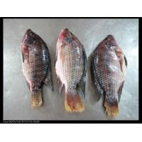 Wholesale FROZEN SEAFOOD tilapia whole round from china suppliers
