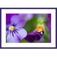 Buy cheap Ladybug on a Viola Flower Framed Print from wholesalers