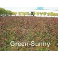 Wholesale Cotinus coggygria 'Royal Purple' from china suppliers