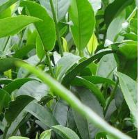 Wholesale Green tea extract from china suppliers