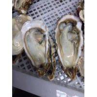 Buy cheap pacific oyster from wholesalers