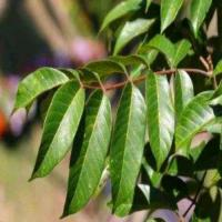Wholesale Circulatory Health hs0234hs-Olive Leaf Extract from china suppliers