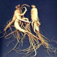 Wholesale Circulatory Health hs0230hs-Ginseng P.E. from china suppliers