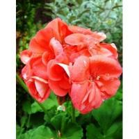 Wholesale Geranium Essential Oil from china suppliers