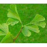 Wholesale Ginkgo Biloba Extract 24/6% Water Soluble from china suppliers