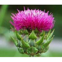 Wholesale Milk Thistle Extract 80% Silymarin from china suppliers