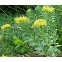 Wholesale Rhodiola Extract 1% Salidrosides from china suppliers