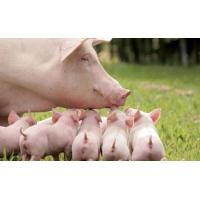 Wholesale Enzyme preparation Complex enzyme for pig from china suppliers