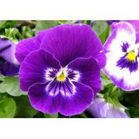 Wholesale Pansy Extract, Viola tricolor extract from china suppliers
